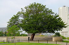 okcmemorial220px-The_Survivor_Tree_at_the_Oklahoma_City_National_Memorial